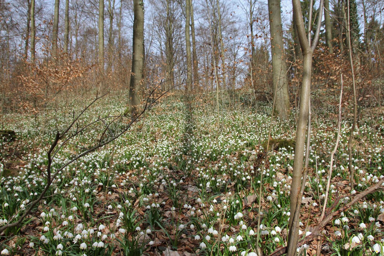 Hameln schweineberg Märzenbecherblüte