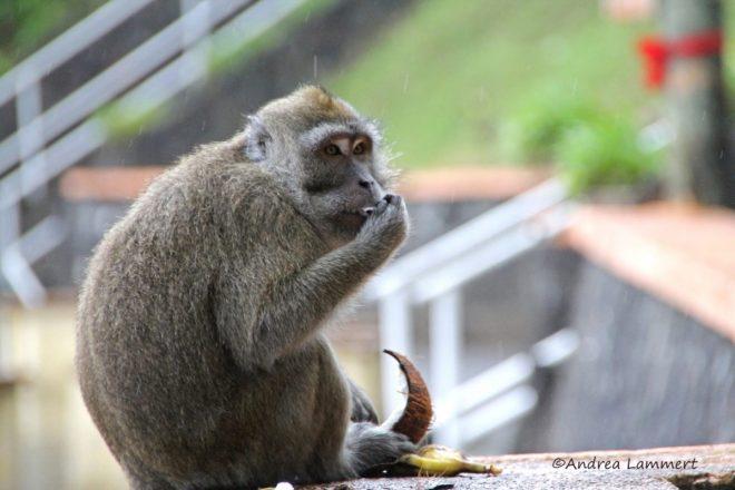 Mauritius Tierwelt, Birdwatching, Javaneseraffe im Regen