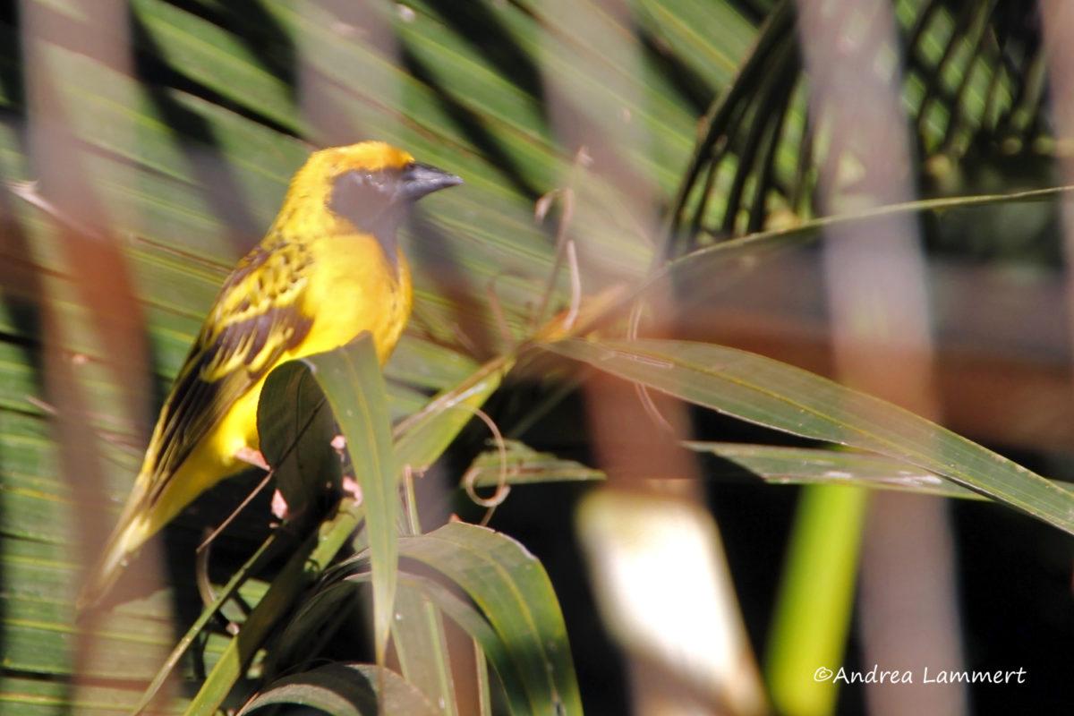 Mauritius Tierwelt, Birdwatching, Dorfweber