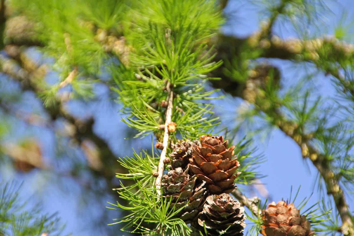 Sibirisches Lärchenholz, nachhaltigkeit, Umweltschutz