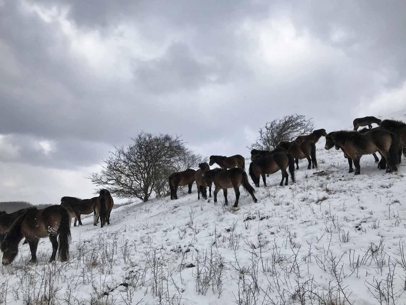 Langeland, Wilde Pferde, Exmoor-Ponys