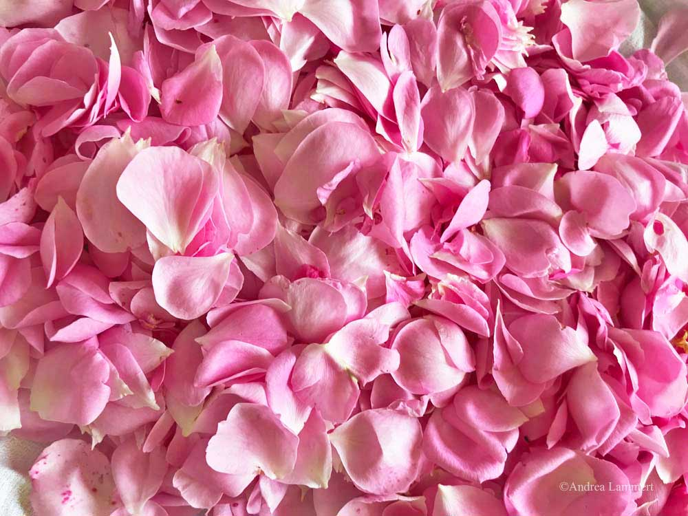 Rosenblütensirup selbst gemacht, Rezept für Rosenblütensirup, daraus kann man Rosenlimonade selber machen