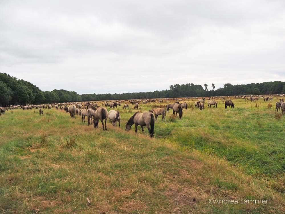 Wildpferde Deutschland: Im Merfelder Bruch bei Dülmen leben die grau gefärbten Tiere ganz auf sich gestellt.