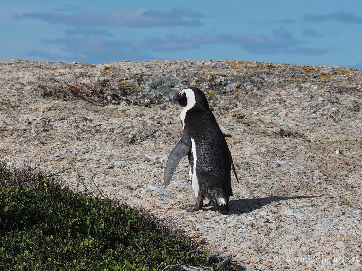 Addo-Elefantenpark, Pinguine, Pazifik