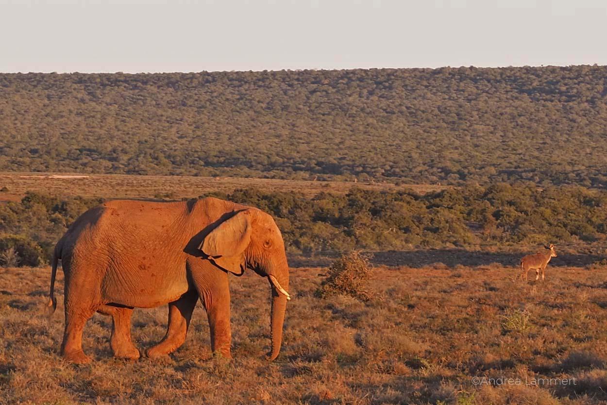 Addo-Elefantenpark in Südafrika: Perfekt, um Elefanten zu beobachten, aber auch Löwen, Zebras, Warzenschweine und Büffel lassen sich blicken