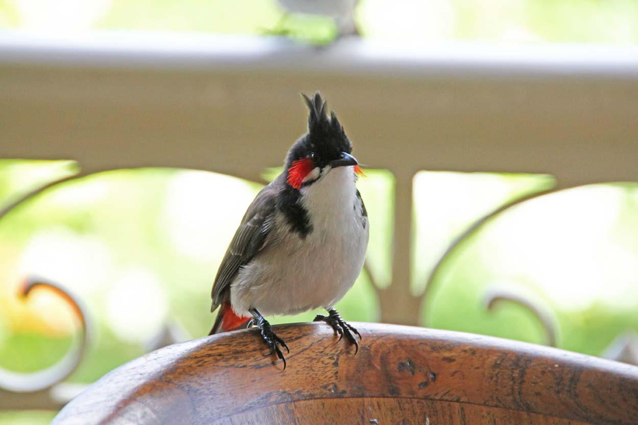 Maurizius, Birdwatching, Rotohrbüllbüll
