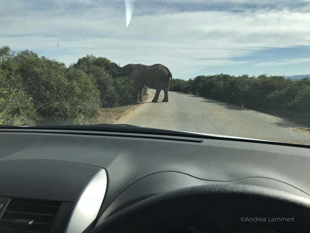 Autofahrenn in Südafrika ist ganz anders als in Deutschland, nicht nur wegen des Linksverkehrs, sondern auch wegen der Tiere und der anderen Regeln.