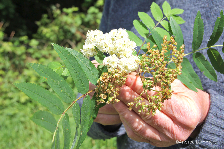 Heilige Pflanzen der Kelten, Irland, Essbare Pflanzen, Kräutermagie der Kelten, Kräuterwissen Irland,