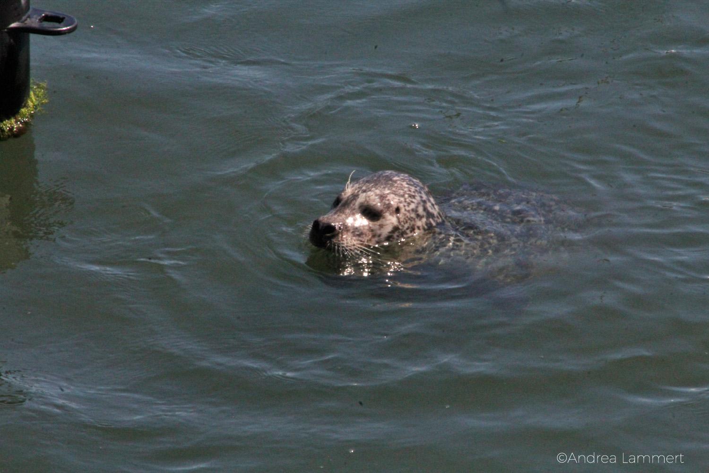 Robbe, Sankt Peter Ording, beim Schwimmen in der Nordsee