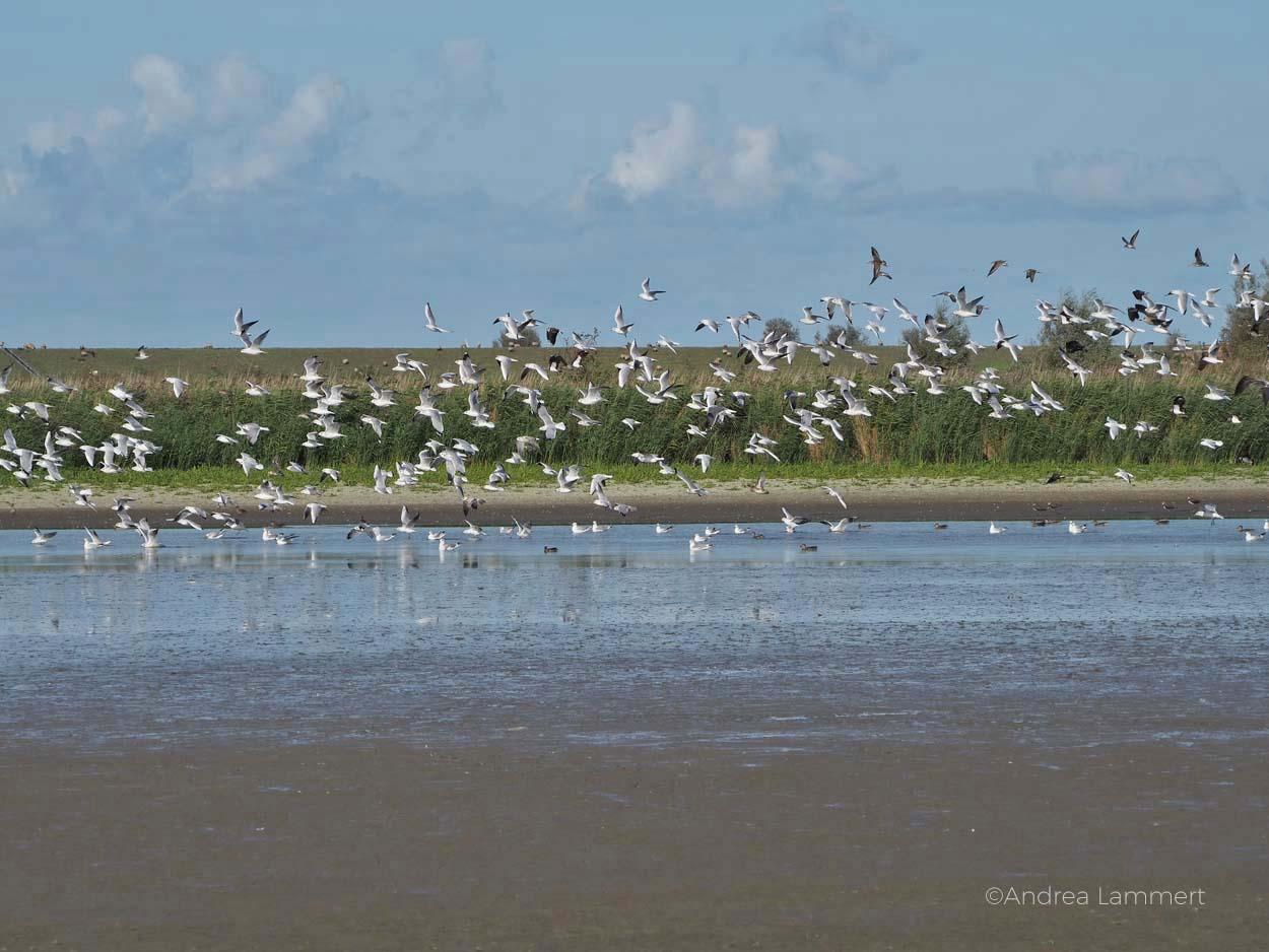 Typisch Herbst: Vogelschwärme an der Nordsee. Leybucht, Greetsiel, Niedersachsens Nordseeküste