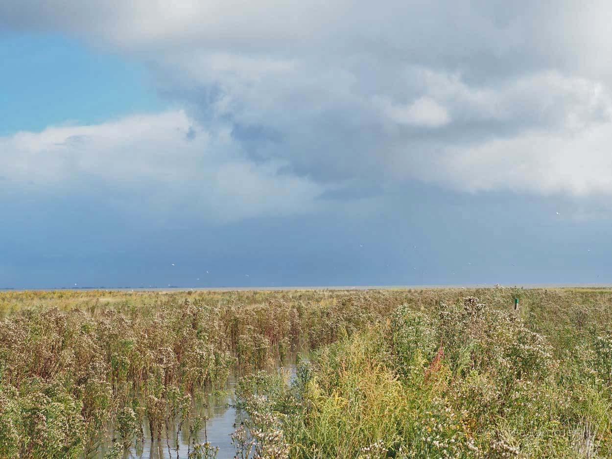 Die Salzwiesen im WattenmeerWarum ich die Nordsee liebe - Gründe für den Urlaub an der Nordsee, Nordseeinseln, einsame Inseln in der Nordsee,