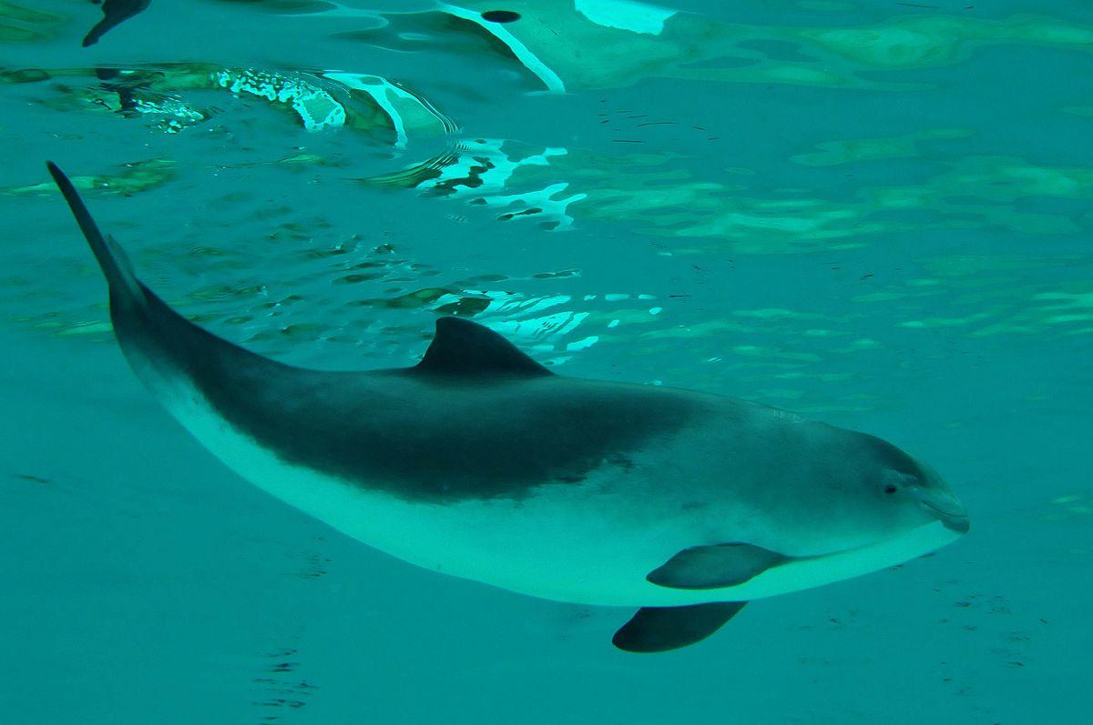 Schweinswal auf Sylt, Whalewatching-Sylt, Walbeobachtung auf Sylt, Schweinswale vor Sylt