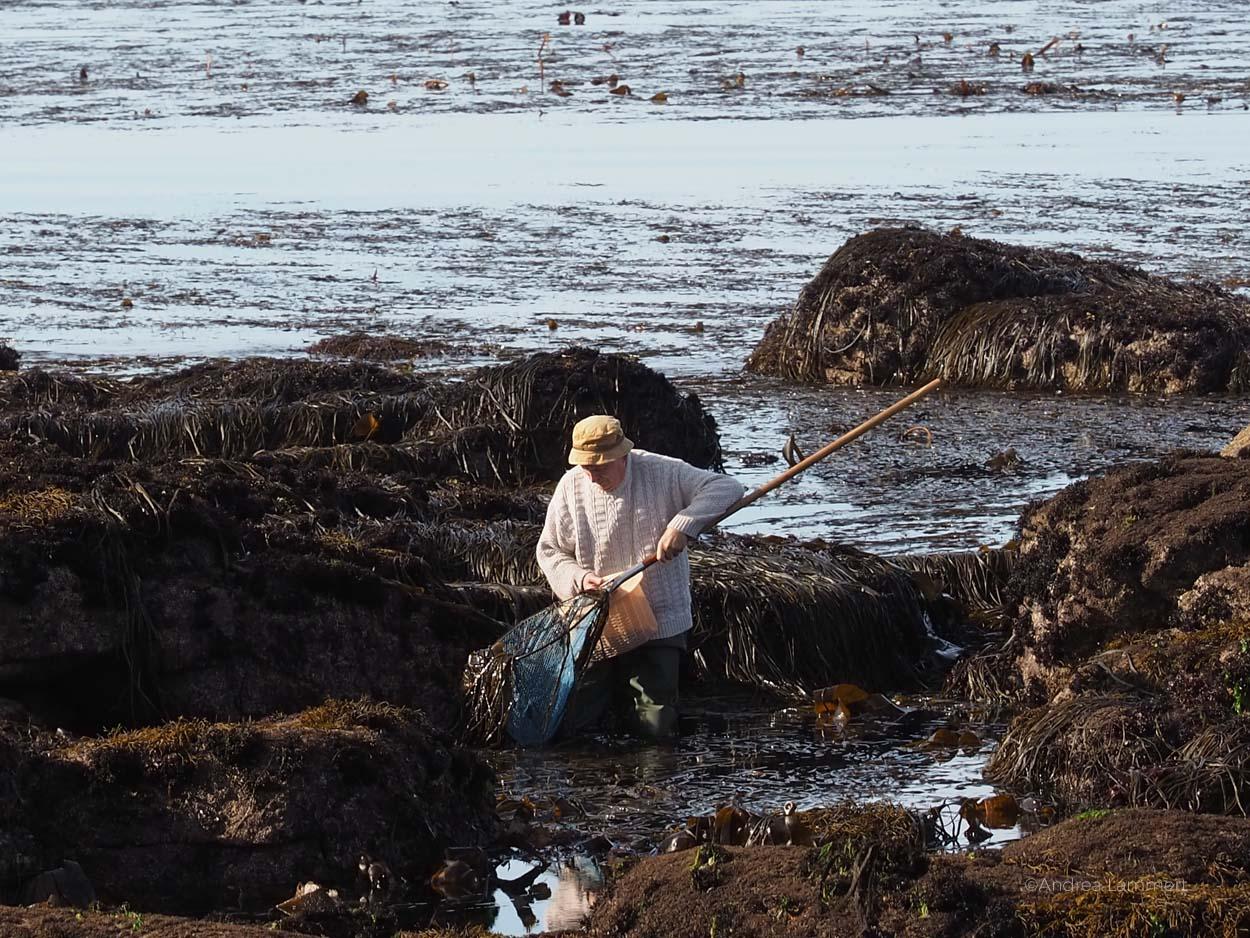 Lanildut in der Bretagne ist Algenhauptstadt Europas, dort werden pro Jahr 35.000 Tonnen Algen verladen. Im Ort gibt es ein kleines Algenmuseum.