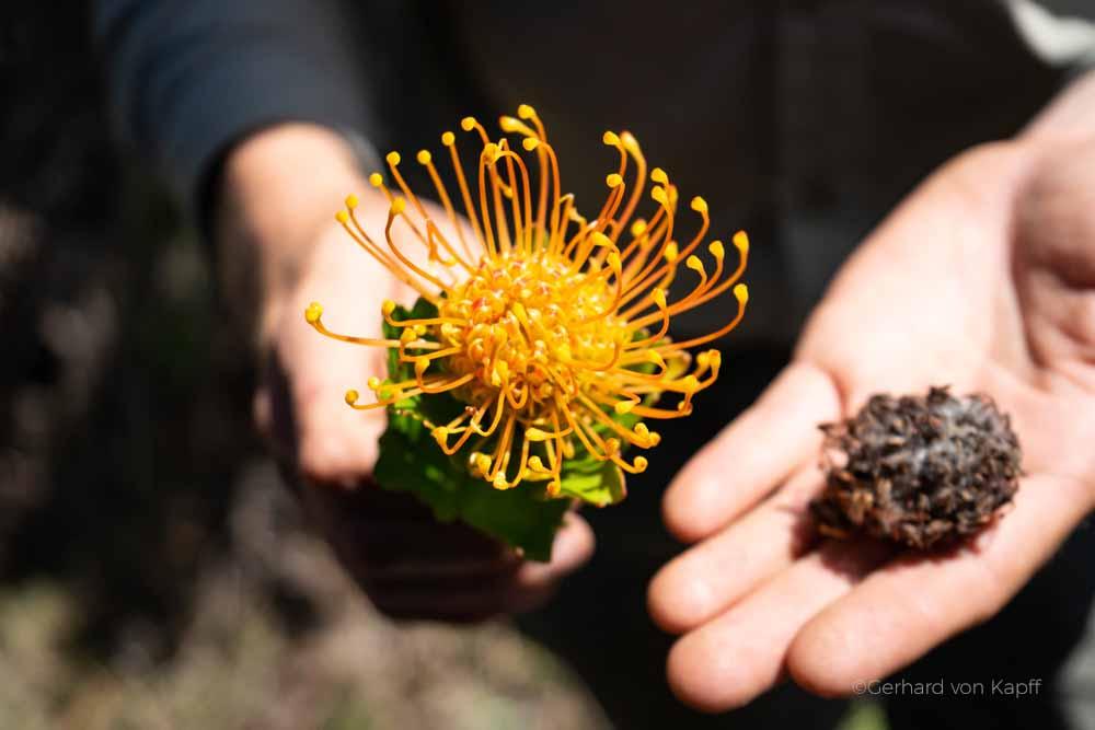 Insekten in Südafrika, Grootbos bei Hermanus,