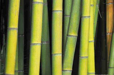 Bambouseraie de Prafrance, Anduze, Cevennen, Gard, Bambusgarten, Bambuspark, Riesenbambus, Frankreich