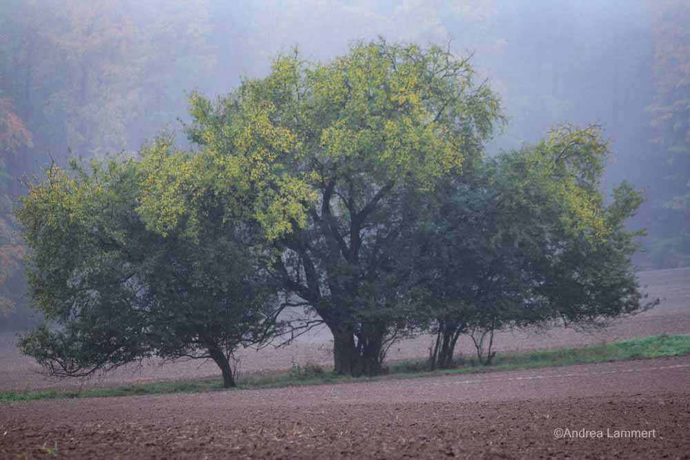 Weißdornbüsche bei mir im Dorf