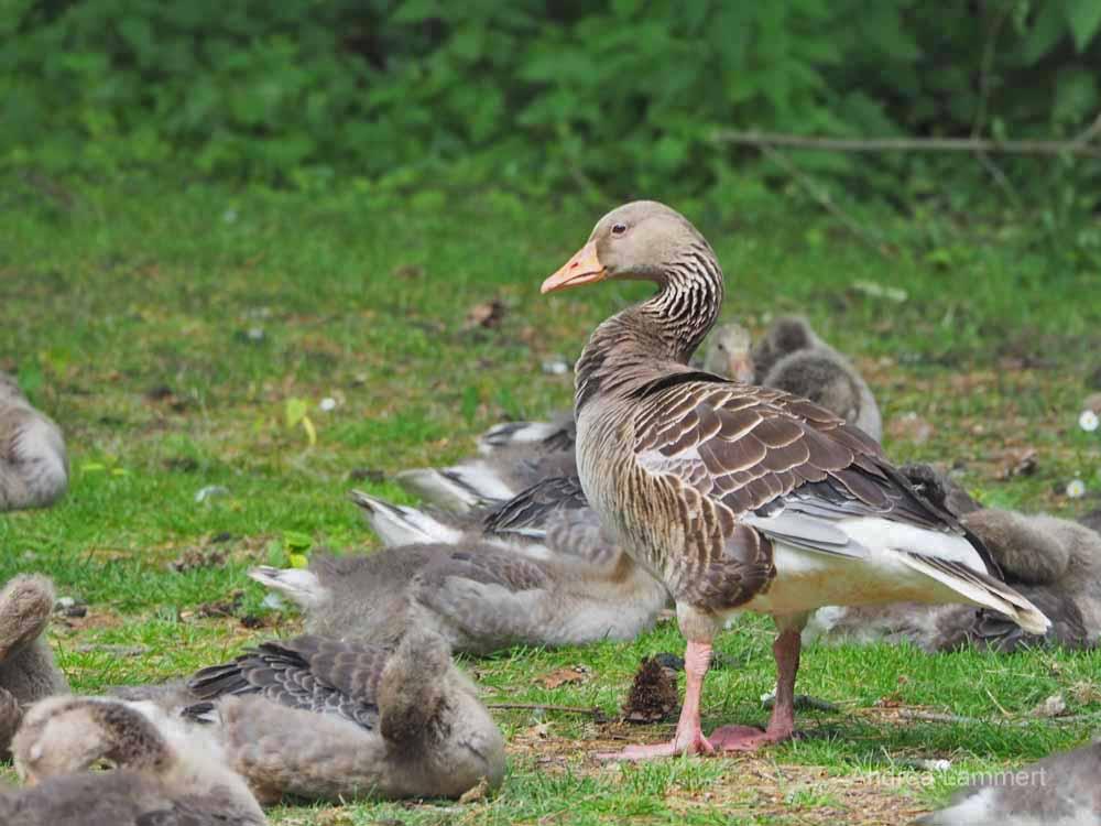 Im Bürgerpark von Braunschweig lassen sich Enten beobachten.