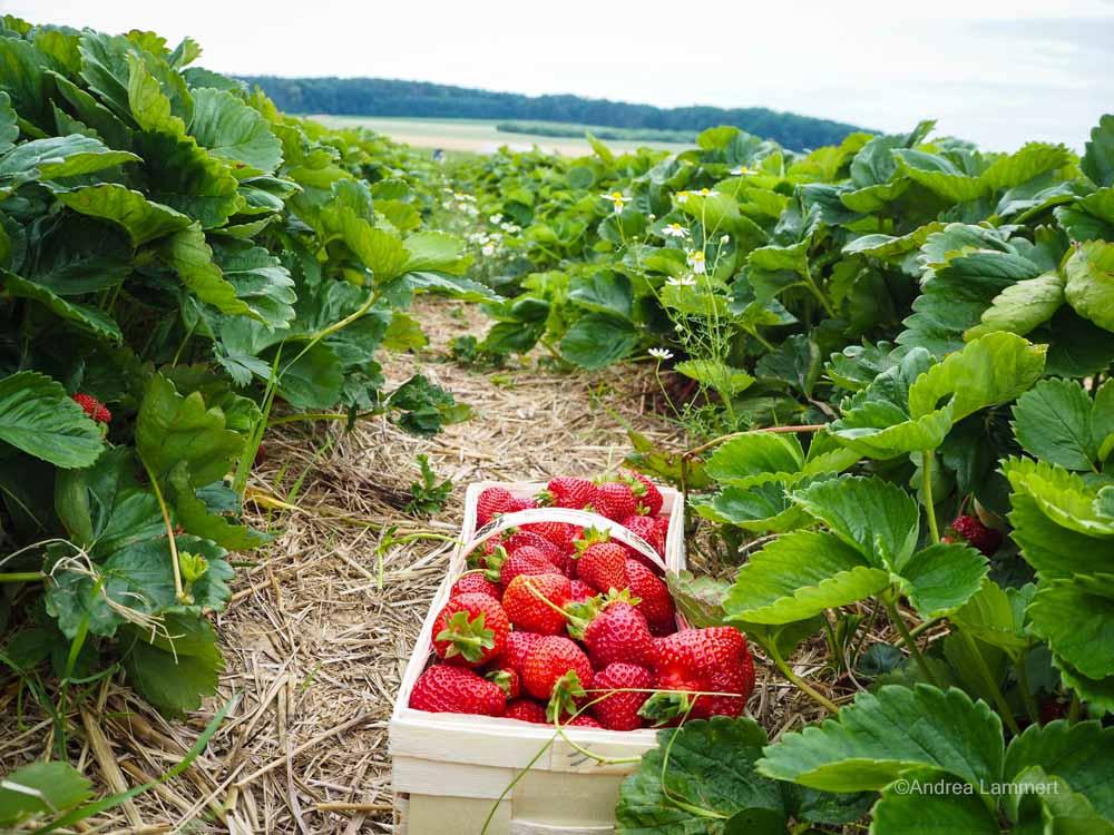 Erdbeerfeld im Calenberger Land bei Gestorf