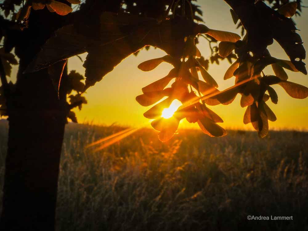 Lindenblüte mit Sonnenstrahlen