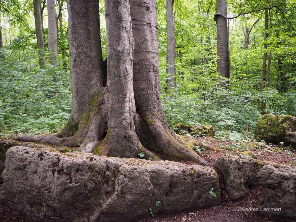 Vierstämmiger Baum beim Adam-und-Eva-Felsen am Ith