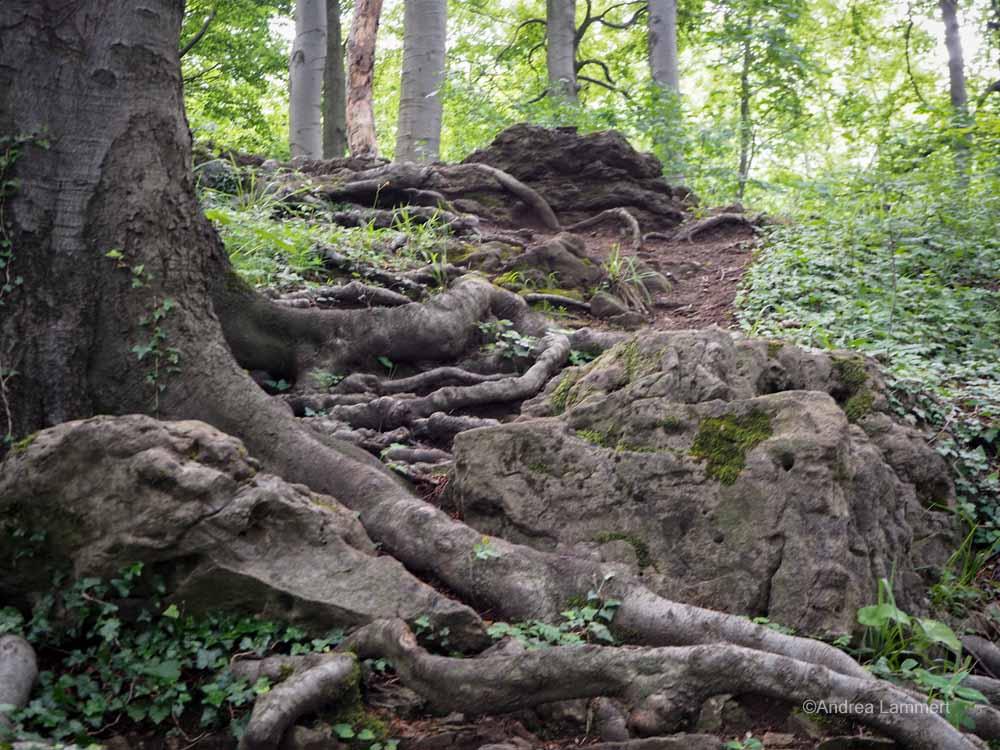 Mystischer Ith, Wandern in Bessingen zu den Klippen, Baumwurzeln säumen den Weg.