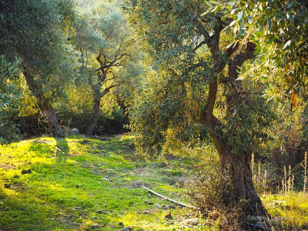 Olivengarten in Thassos