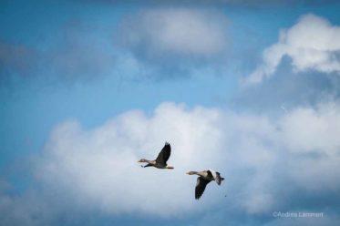 Graugänse im Flug