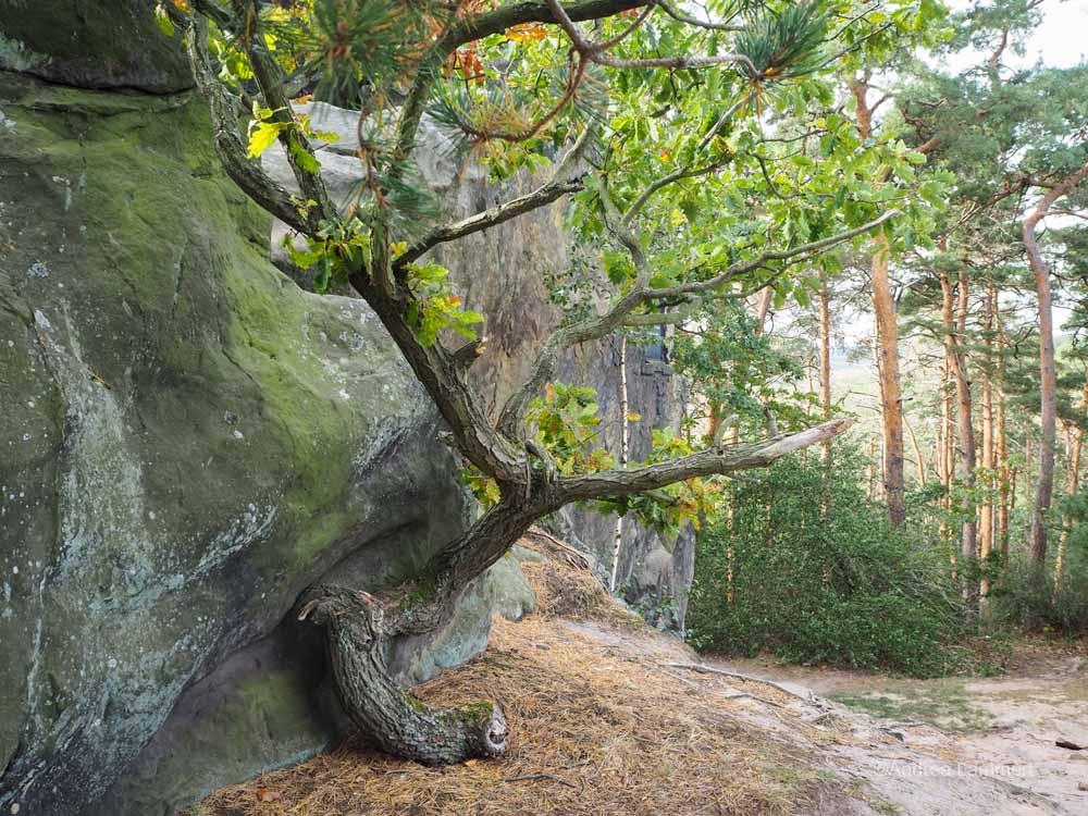 Bäume am Teufelsmauerstieg beim Wandern